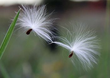 Milkweed holding